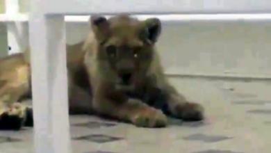 Photo of Львенка содержали в гостинице Шымкента. Полиция возбудила дело