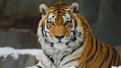 Photo of Водителю из  Хабаровска грозит штраф в 2 миллиона за сбитого амурского тигра