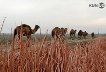 Photo of «Я полюбил верблюдов, потому что мой отец выздоровел от их молока» — поездка на верблюжью ферму в степях Центральной Ферганы