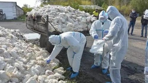 Photo of Очередная вспышка птичьего гриппа в СКО:погибло больше тысячи птиц