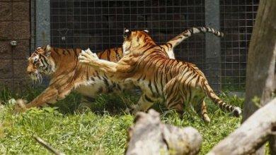 Photo of В крымском зоопарке тигр откусил годовалому ребенку палец