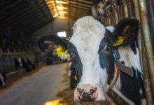 Photo of У сельчан в СКО от болезни гибнет скот